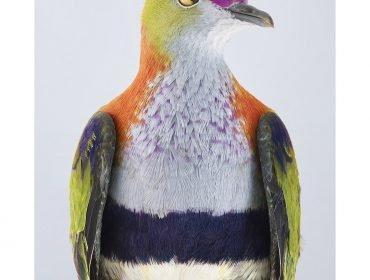 "Ornithurae Volume 1 by Leila Jeffreys ""Superb Fruit-dove"""